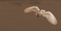 Our resident barn owl