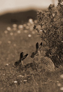 English brown hares